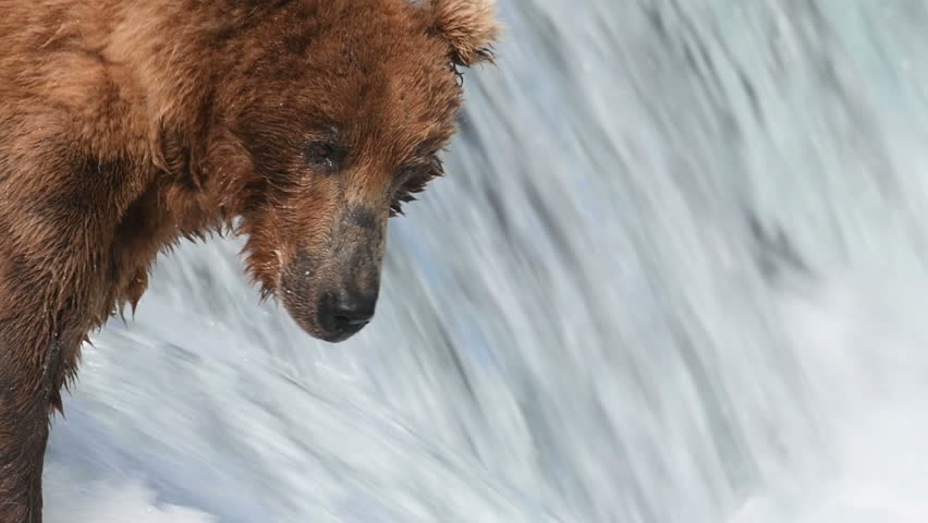 Slow motion of Alaskan brown bear fishing for salmon and catching one at Brooks Falls in Katmai National Park, Alaska