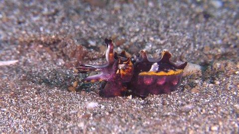 Flamboyant cuttlefish displaying on muck, Metasepia pfefferi HD, UP23382