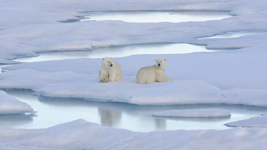 Two polar bear cubs sleeping on the sea ice off Baffin Island in Nunavut, Canada. (Nunavut, Canada 2010s)
