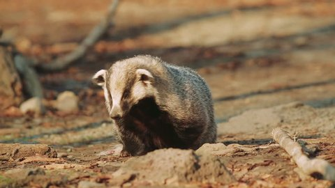 Badger in the forest