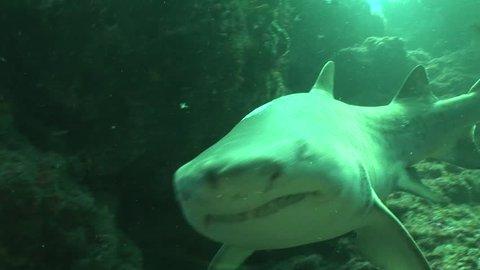 Dangerous Bull Shark (Carcharhinus leucas) Underwater Video