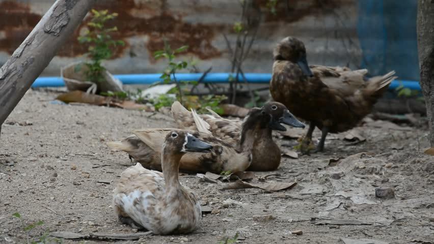 Duck life  in farm background | Shutterstock HD Video #18791207