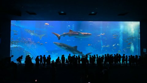 Okinawa Aquarium 4K with Beautiful Whale Sharks. World largest aquarium tank. People can see whale sharks and manta rays swimming. Location: Okinawa Churaumi Aquarium, Japan.