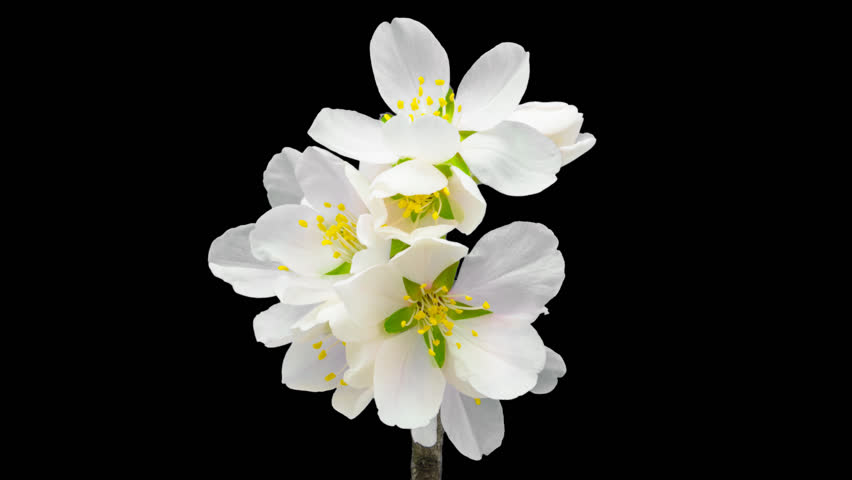 Almond flower growing and blossoming macro timelapse isolated with alpha, encoded with photo-png/ Almond flower blossoming macro timelapse