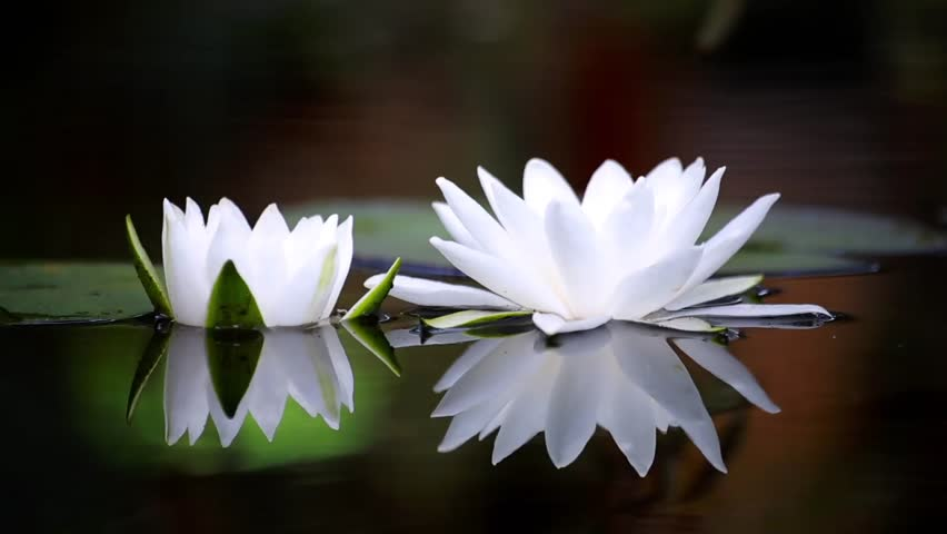 {WHITE WATER LILY} SHARPENED SENSES. ACUITY OF VISION ...