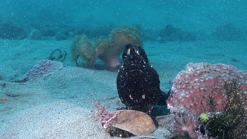 Giant frogfish swimming on deep sand and coral rubble, Antennarius commerson HD