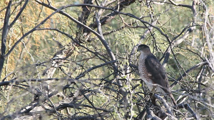 Peregrine falcon bobs head, preens, scratches head from perch in tree. 1080p