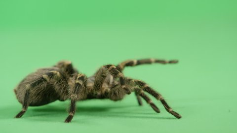 [Tarantula walking on Green]Tarantula walking on green background