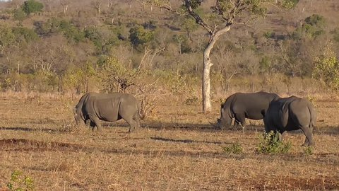 group of rhinos walking and eating grass in the kruger national park in south africa