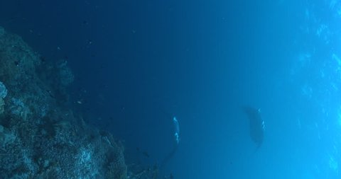 Vertical shot of Reef manta ray swimming on coral reef, Manta alfredi 4K UltraHD, UP36113