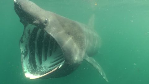 Basking Shark in Scotland, mouth wide opened