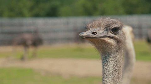 Close up shot of ostriche at the ostrich farm in Russia