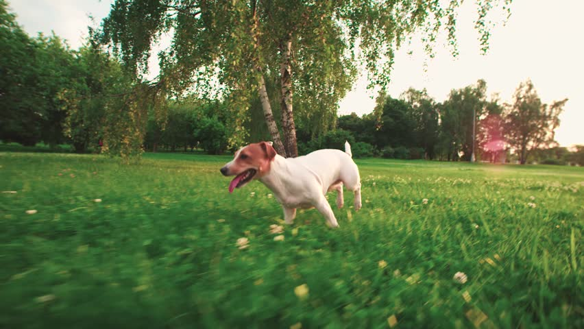 Jack Russell Terrier dog running carefree through the grass in the nature Park, slow motion #19153447