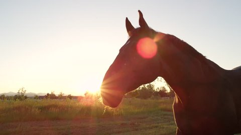 SLOW MOTION, CLOSE UP: Beautiful powerful dark brown stallion horse pasturing on vast meadow field at golden sunset evening and shaking his mane. Big and strong gelding gazing on pasture at sunrise