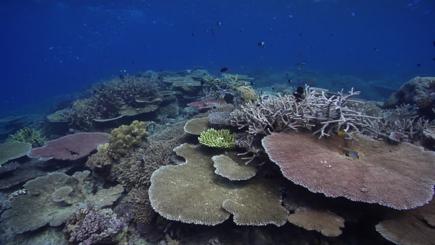 Great Ocean Scenery Healthy Reef, Heavy Surge And Lots Of Fish And Plate,  Staghorn And