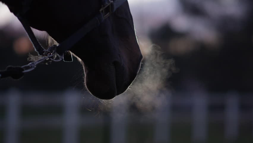 SLOW MOTION, CLOSE UP, DOF: Hot breath turning into vapor when coming out from horse's nostrils. Beautiful dark bay horse breathing deeply, warm air changing into steam. Strong stallion blowing air