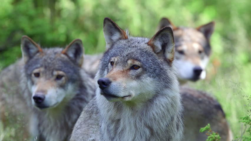 wolf pack watching alerted in forest