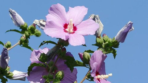 Bee Hawk collects nectar from bright flowers of hibiscus.
