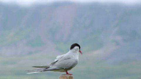 Arctic tern kria close up standing on wooden post flying away Iceland