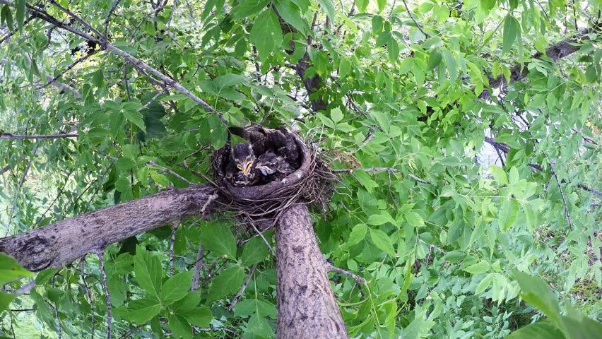 Robin Adult Young Chick family Brood Nesting Summer Feeding Carrying Food Babies. Black Hills, South Dakota, USA - 2015   Shutterstock HD Video #19414087