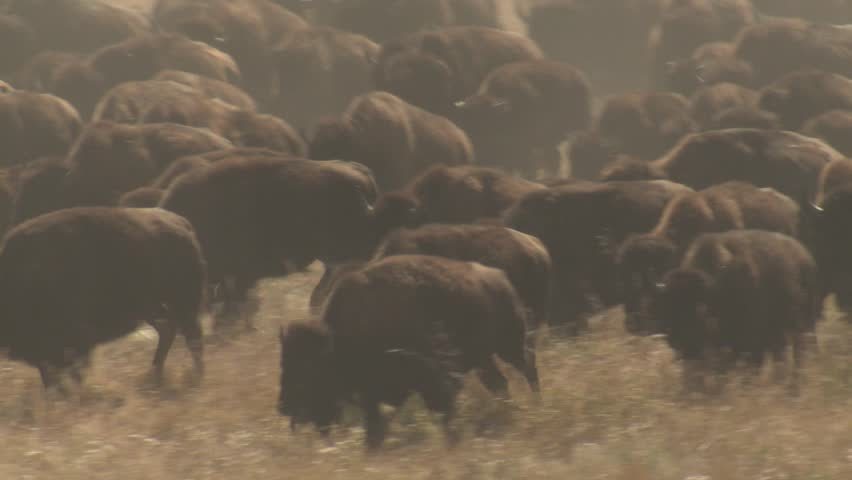 Bison Adult Young Calf Herd Many Running Stampeding Fall Autumn. Custer State Park, South Dakota, USA - 2015