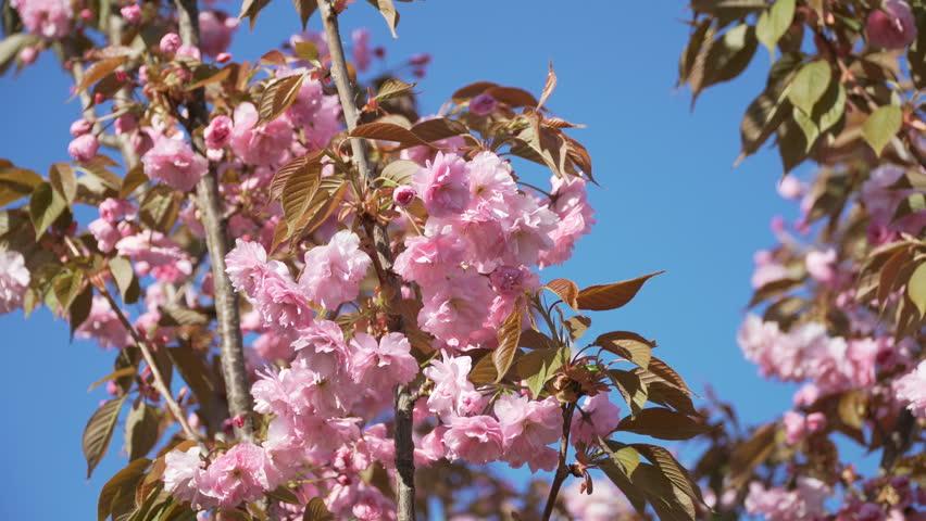 Cherry flower spring blossom zoom in Spring flower tree background pink cherry sakura blossom Blossom cherry sakura tree branch pink spring flower Cherry sakura tree flower blossom spring background