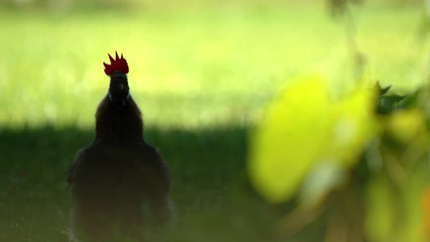 Crowing Cock - animation and live action video