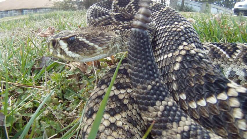 Eastern Diamondback Rattlesnake Rattling Stock Footage Video (100%  Royalty-free) 1953187 | Shutterstock