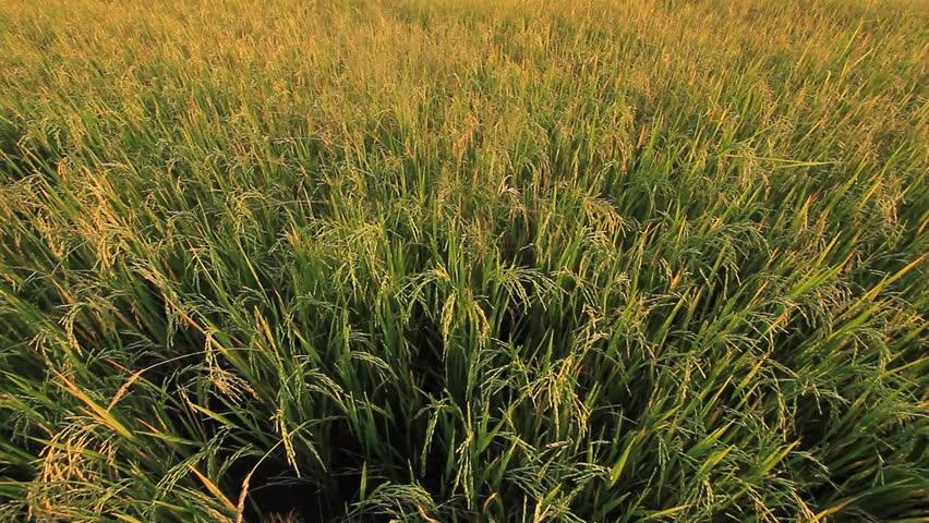Rice farm in Thailand.