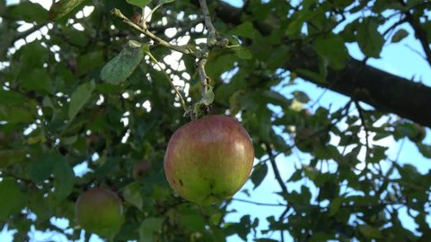 Apple tree showing red and green apple hanging in the tree low hanging fruit almost ripe green and red color also showing green leaves and through them a blue sky in the background 4k quality