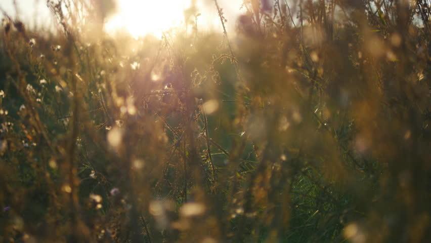 Warm summer sun light shining through wild grass field. Close up of grass field flowers at sunset light. Colorful nature background. The bright sun illuminates dry grass