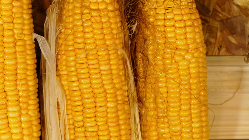 Corn boiled in a large pot at a fair with traditional romanian gardener harvest sweet corn from his farm sweet corn is a crop that lends itself well ccuart Choice Image