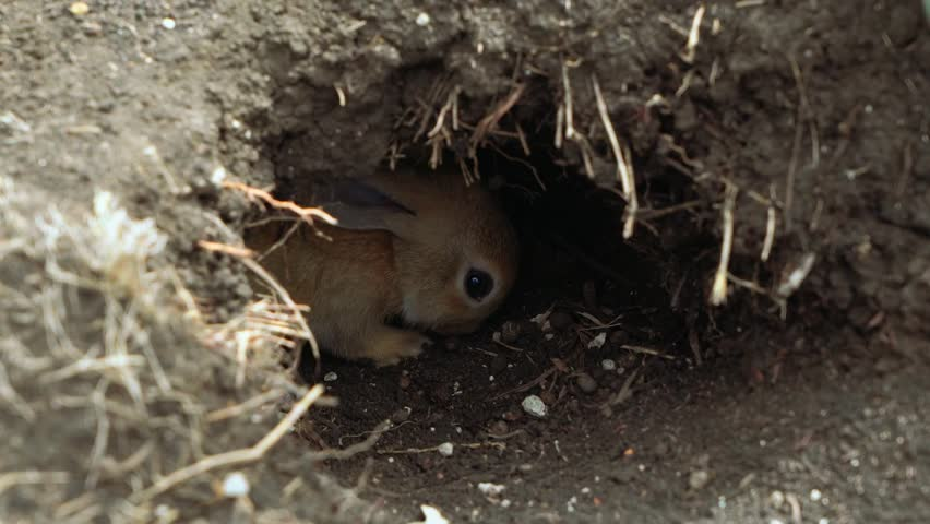 Cute little orange rabbit digging in a hole