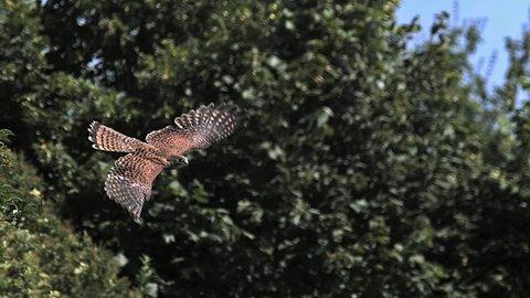 Common Kestrel, falco tinnunculus, Adult in Flight, Normandy, Slow Motion