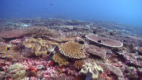 Ocean scenery healthy coral, lots of table corals, on shallow coral reef, HD, UP18557