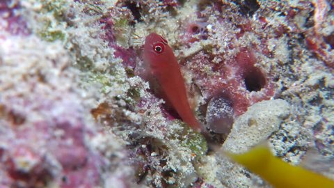 Red dwarfgoby, Trimma benjamini HD, UP19848