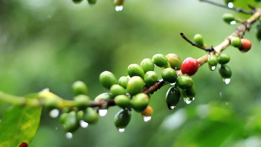 coffee beans  in the rain.