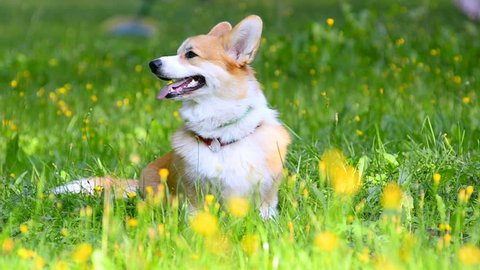 Portrait of welsh corgi Pembroke on a green lawn with yellow mayflowers