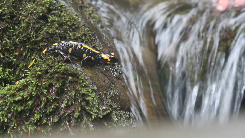 Salamandra salamandra on river-stone with water-flow on background