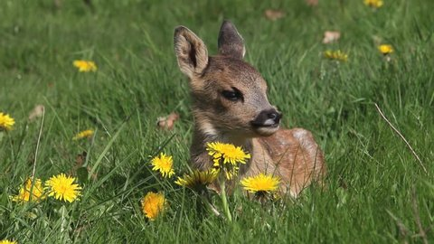 Roe Deer, capreolus capreolus, Fawn standing in Meadow with Yellow Flowers, Looking around, Normandy in France, Real Time