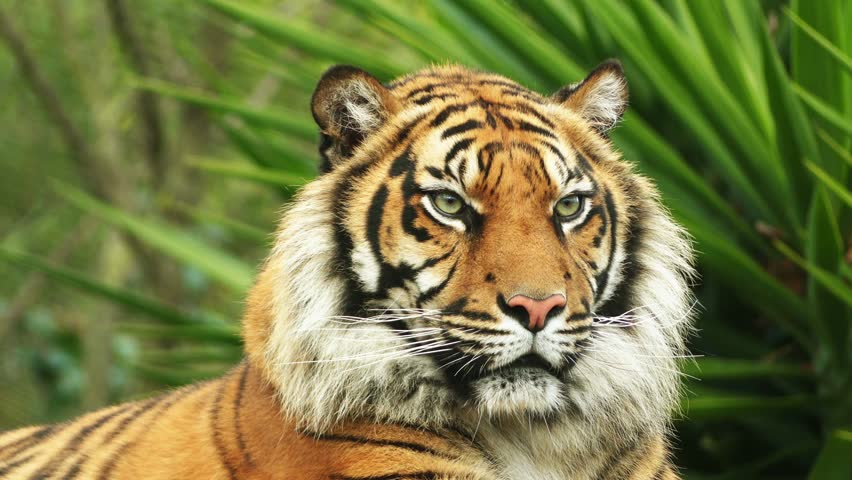The Bengal Tiger, also Called Stock Footage Video (100% Royalty-free)  19929067 | Shutterstock