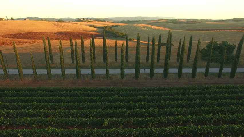 Aerial: backwards camera movement away from road between Italian cypress plants, over vineyard rows. Tuscany, Italy.