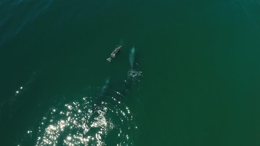 Aerial footage of Grey Whales