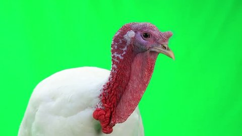 turkey-cock on green screen