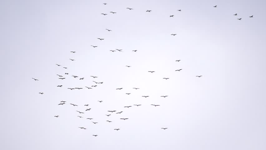 Colonies of great white pelican birds fly in the sky in formation. Pelecanus onocrotalus