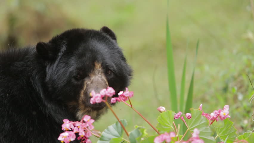 Close up of an Andean spectacled bear and pink flowers in Peru. | Shutterstock HD Video #20207287