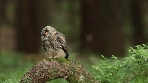 Tawny owl sitting on tree stump in the dark forest habitat. Beautiful bird sitting on the green lichen branch. Tawny owl with lichen branch. Bird in the forest. Brown bird Tawny owl in the forest.