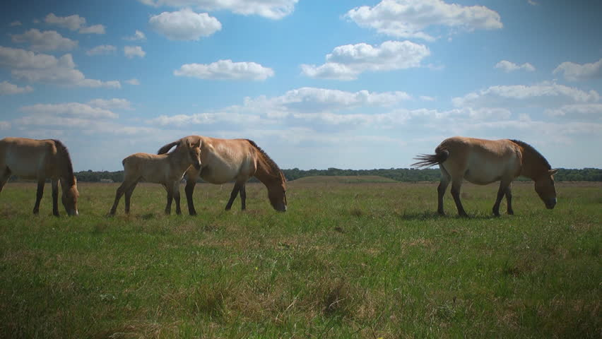 Three Przewalski's horses and foal grazing in the meadow. Ukraine, Askania Nova Reserve.