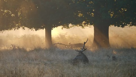 Red Deer Stag Bellowing During Rut in Richmond Park. Autumn Morning.