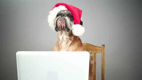 Boxer dog with santa hat looking at sth. on the laptop.